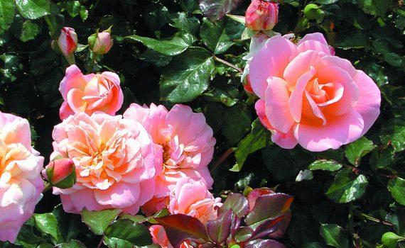 Hur man beskär en ros