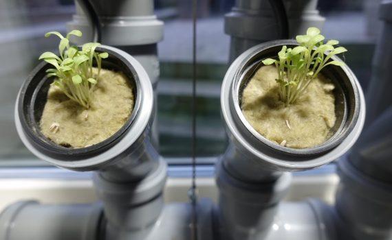 isbergssallad i hydroponisk odling