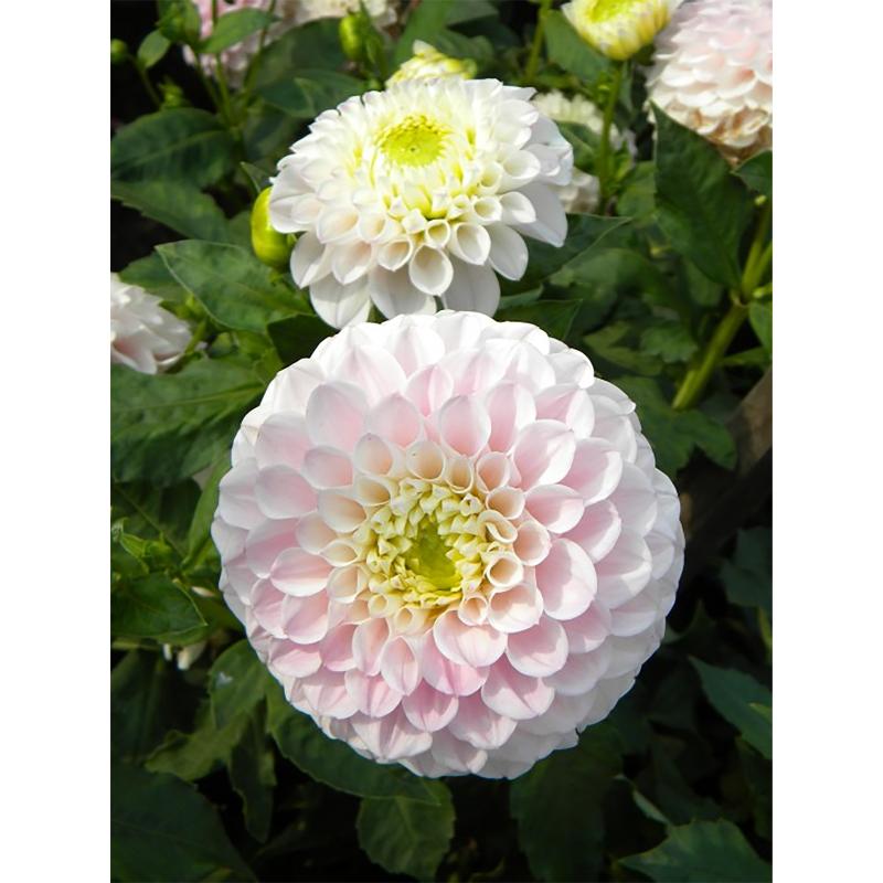 Dahlia Pink Pearl