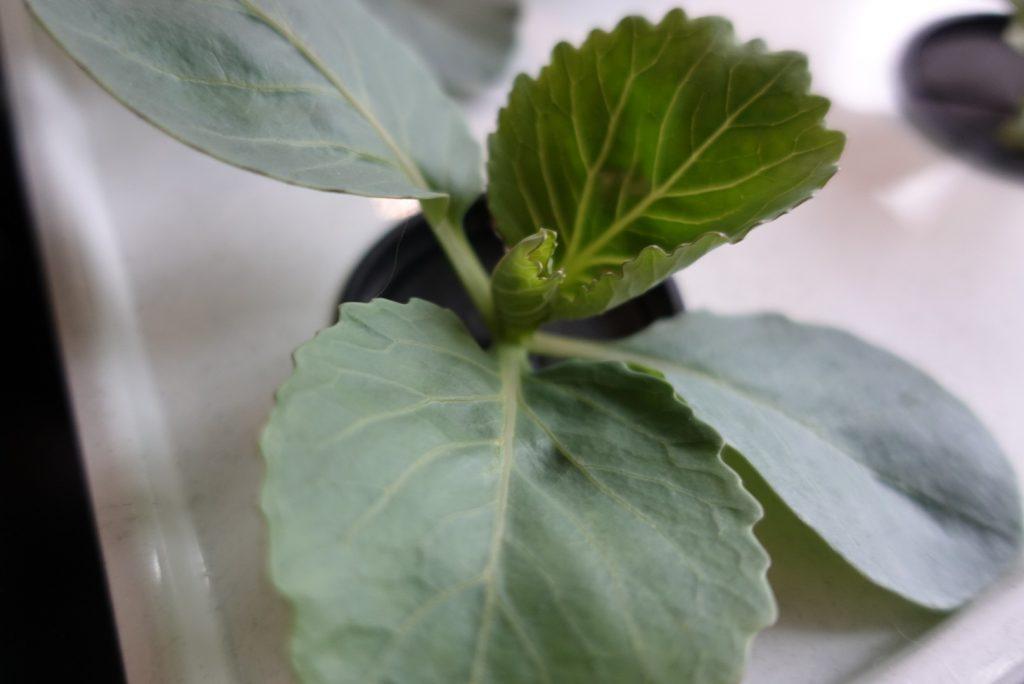 Att odla kål utan att få kålflugor eller kålmal