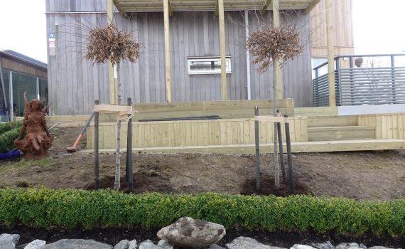 I dag har vi planterat två Klot-Avenbok