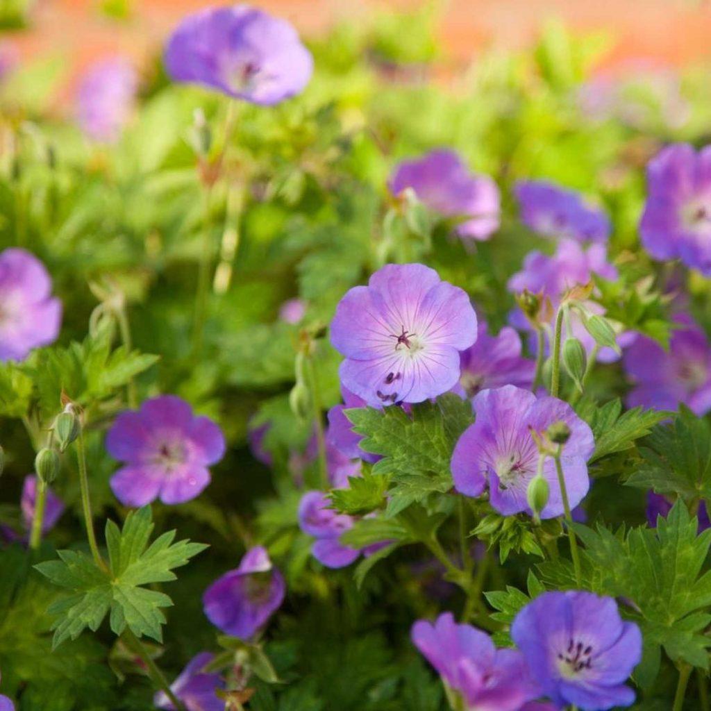 Trädgårdsnävan Rozanne skall bli ett komplement i trädgården