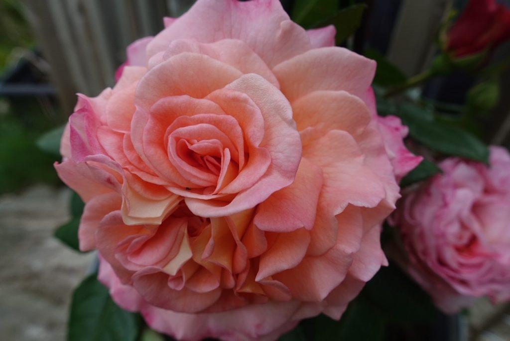 Nya rosen som heter Augusta Louise