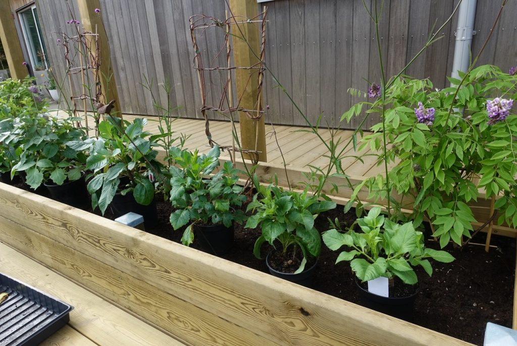 En perfekt dag för plantering av Dahlior