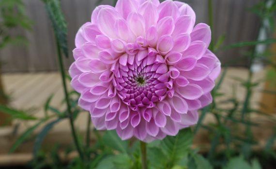 De första Dahliorna har börjat blomma