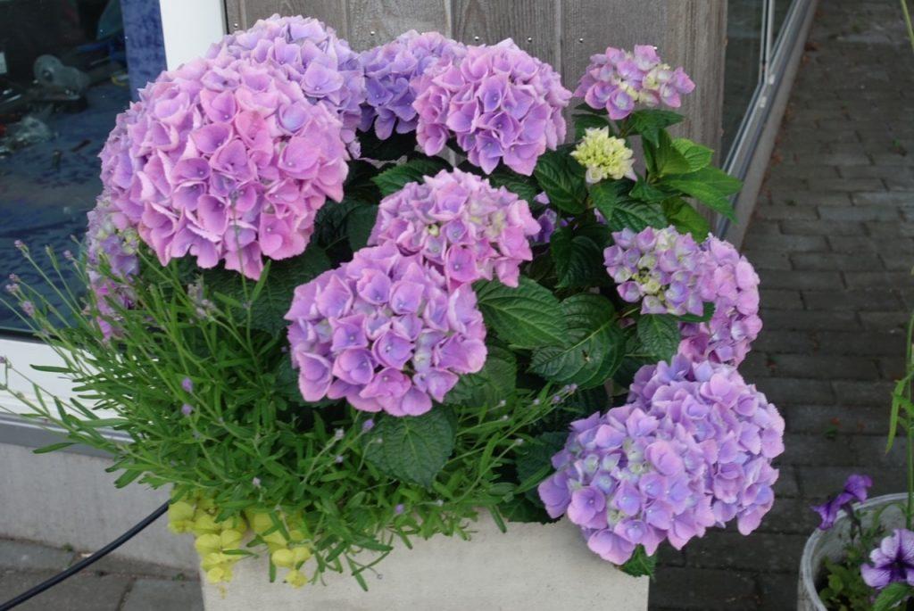 Hortensia i blom