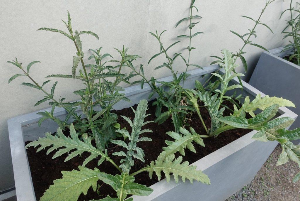 Min odling av kronärtskockor