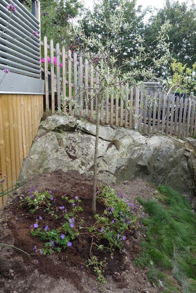runt om planterade jag Trädgårdsnäva Rozanne