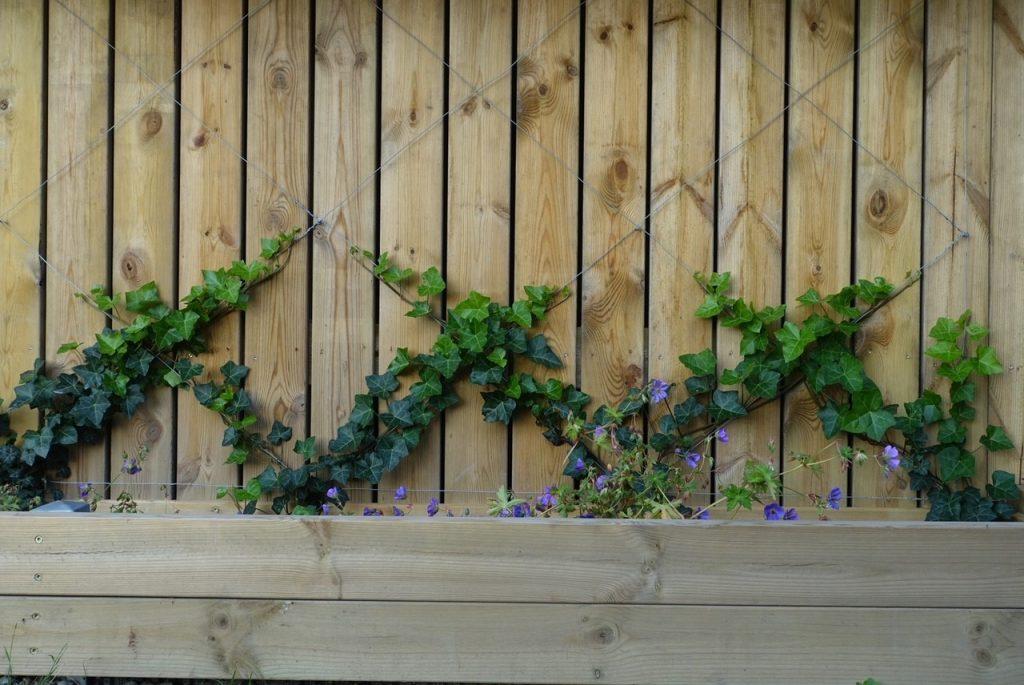 Murgröna växer i mönster