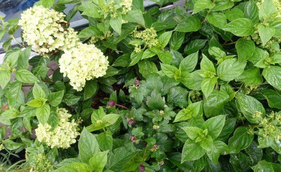 Piffa upp min krukträdgård med lite nya växter!